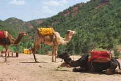 camels1(1)